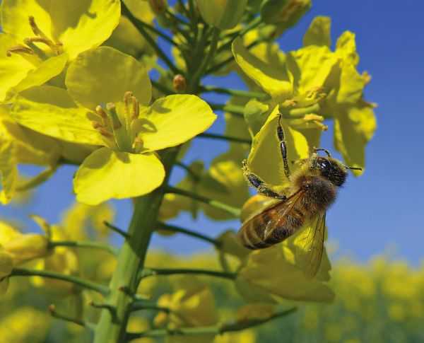 Oilseed rape is likely to provide the first significant honey flow of the season