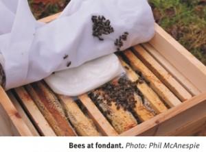 Bees at fondant